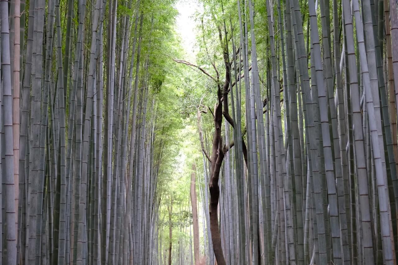 Bamboo Forest at the Mikami Shrine