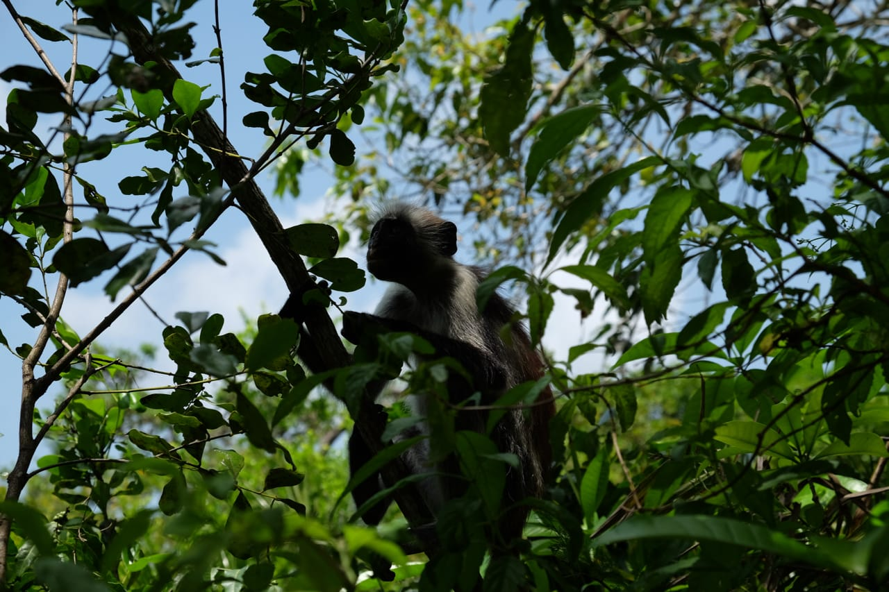 An endangered Red Colobus Monkey